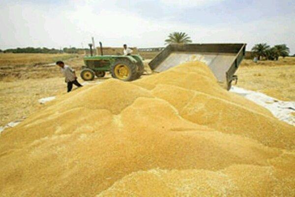 خسارت به 12 هزار تُن گندم در خوزستان صحت ندارد