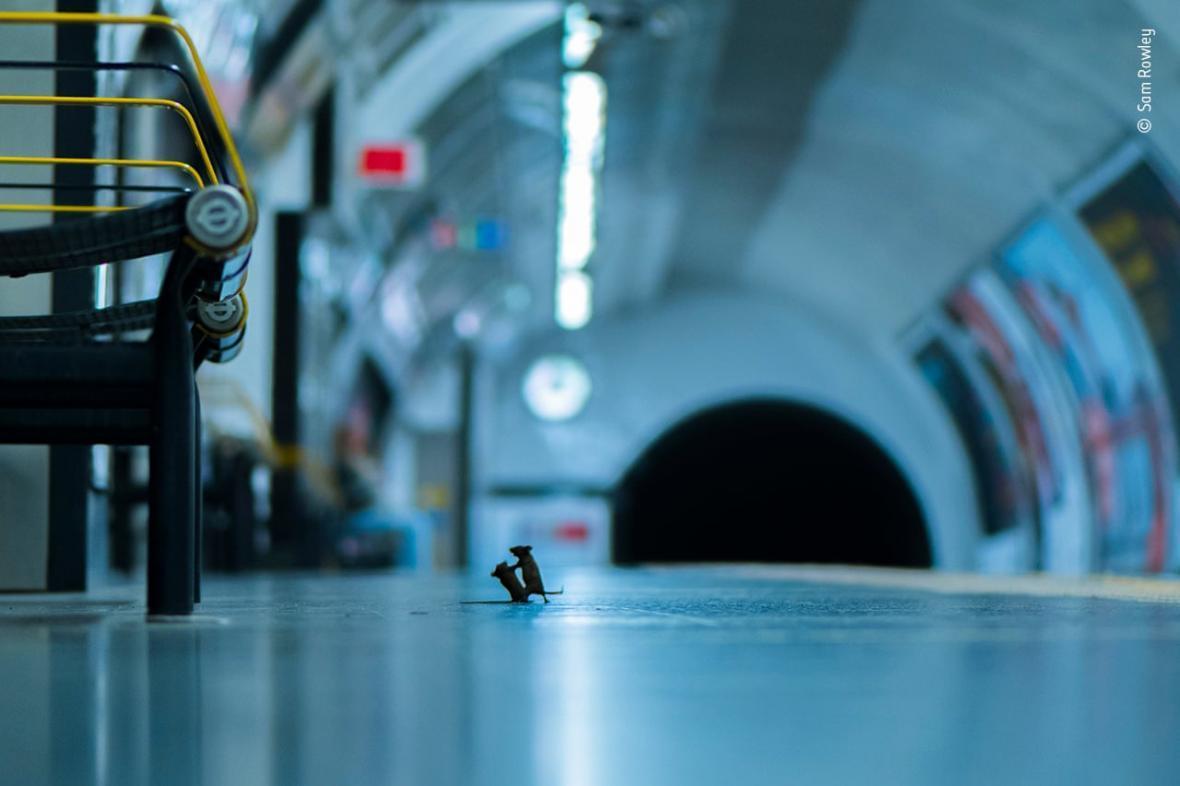 برنده مسابقه عکاسی حیات وحش سال جاری: عکسی از دو موش در حال ستیزه بر سر غذا در متروی لندن!