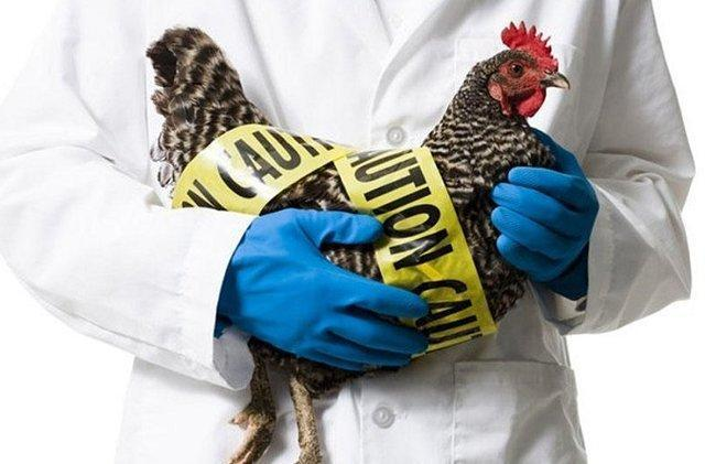 تنها راه کنترل بیماری آنفلوانزای پرندگان چیست؟