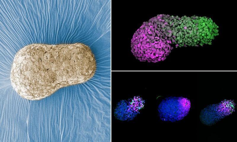 خلق ساختارهای شبیه به رویان که رشد انسان را تقلید می نماید