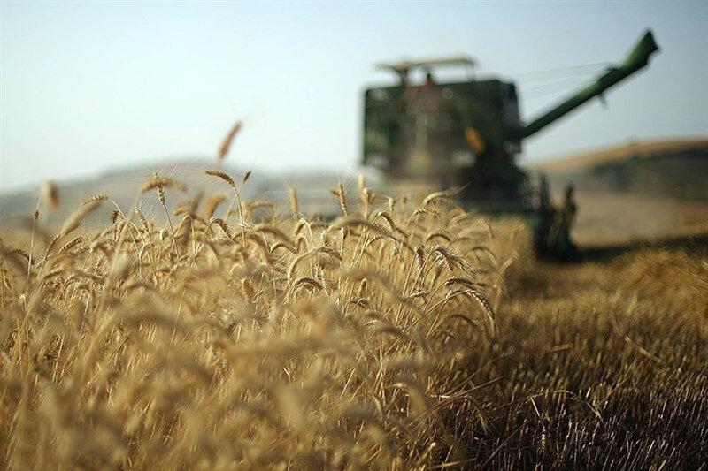 خرید گندم رکورد زد ، پیش بینی 450 هزار تن