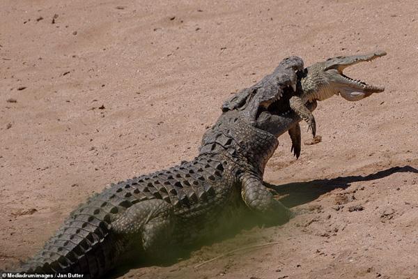 وقتی تمساح یک تمساح دیگر را می خورد (تصاویر)