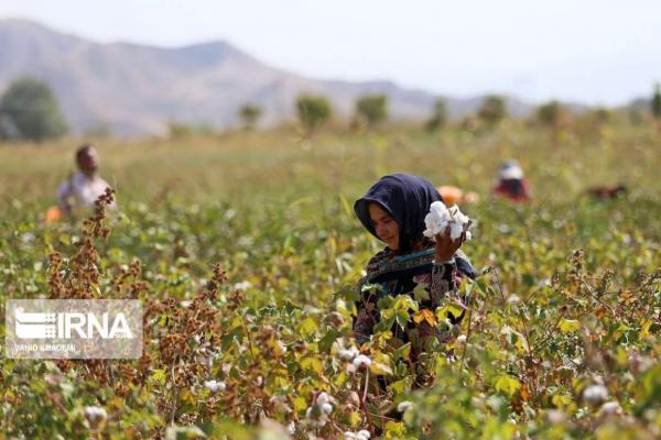 خبرنگاران 80 درصد پنبه خراسان شمالی در مانه و سملقان فراوری می گردد