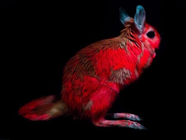 کشف خرگوش هایی که نور صورتی منتشر می نمایند!