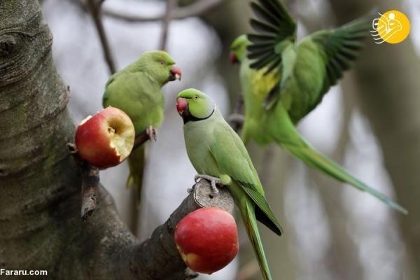 (تصاویر) جاذبه طوطی های ملنگو در لندن