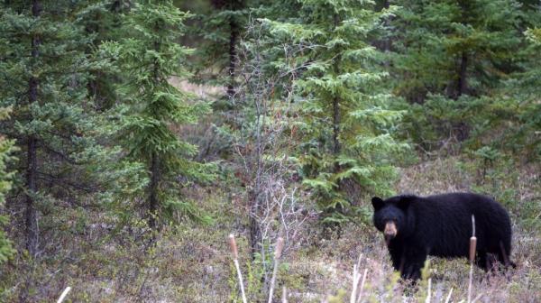 خرس با حمله به این زن 26 ساله بدن او را له کرد